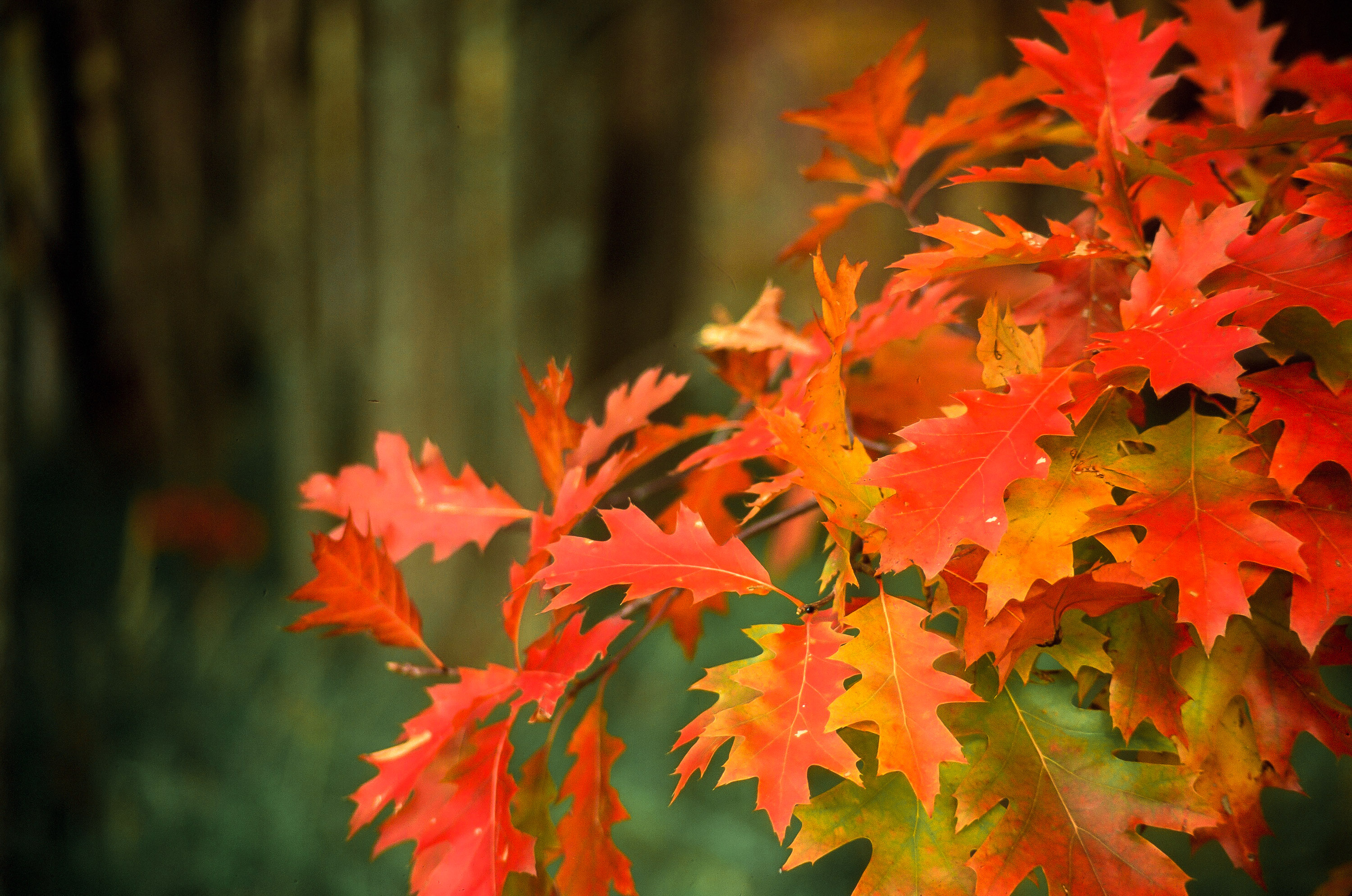 Close-up of Red Leaves at Mount Desert Island in Acadia National Park, Maine